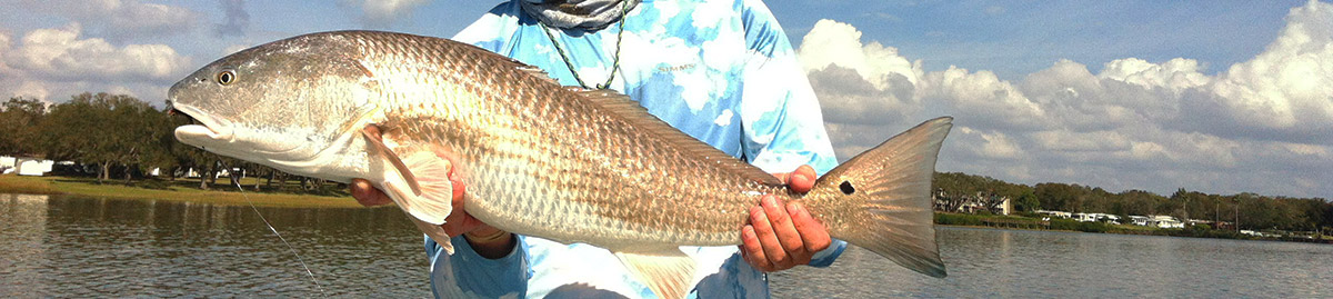 Tampa Bay Redfish